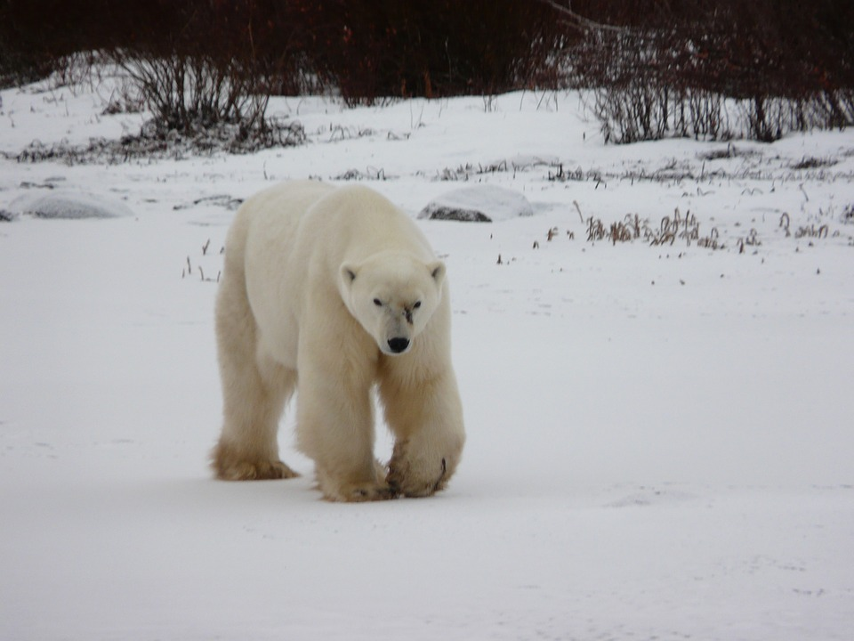 Churchill Canada IJsberen